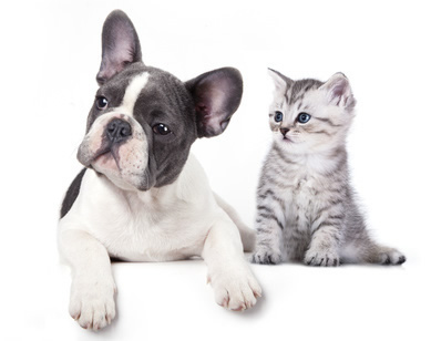 french bulldog and cat