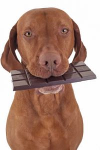 dog with chocolate in its mouth