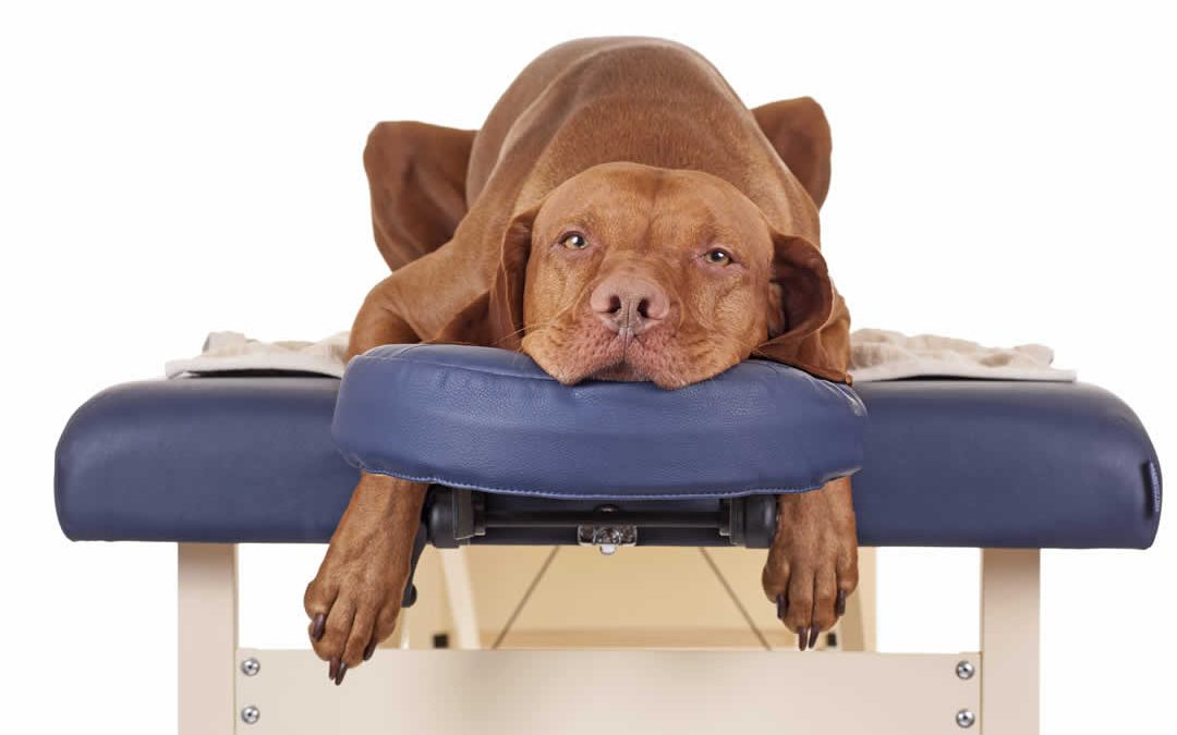 dog in massage chair
