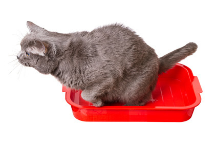 urinating cat in litter tray