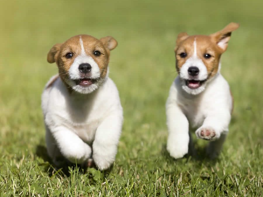 terrier puppies running